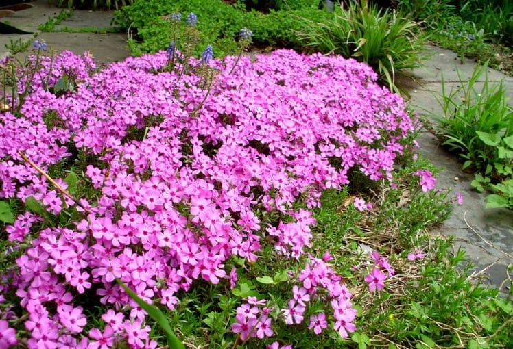 Moss Pinks or Phlox Subulata