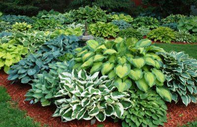 hostas plant varieties