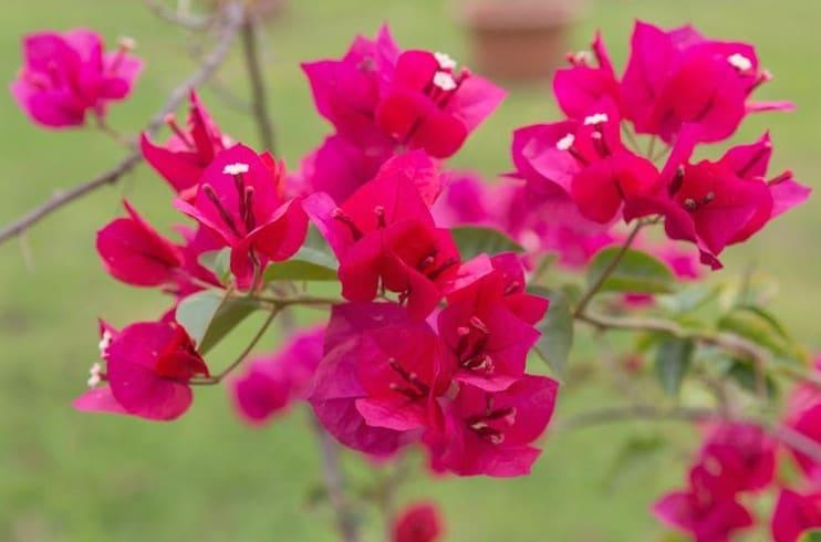 bougainvillea flower for backyard