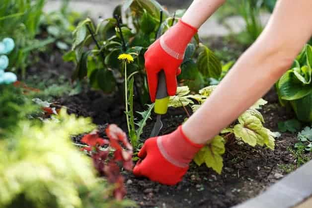 woman pulling out weeds from her backyard garden