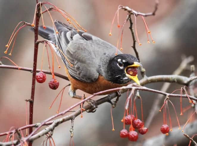 bird eating berries from a shrub during winter