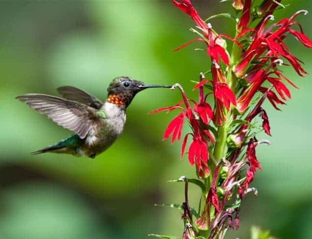 hummingbird attracted to cardinal flowers