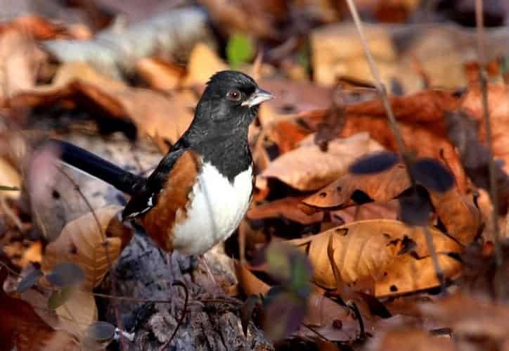 litter leaves for birds in backyard garden