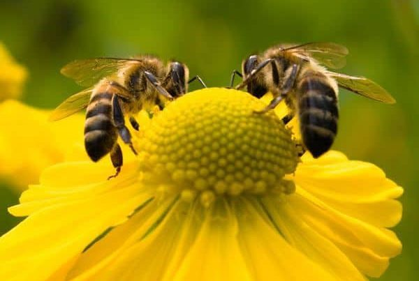 two bees on a flower in a garden