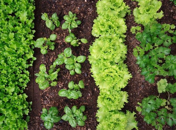 organic herbs in a garden with mulch